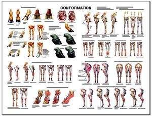 Equine Conformation Anatomy Chart #2 LFA #2537 Horse |