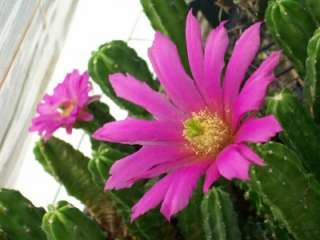 PINK ECHINOCEREUS V. MORRICALII CACTUS SUCCULENT PLANT