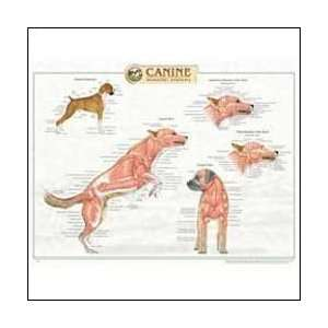 Canine Muscular Anatomy Chart 20 X 26 Laminated: Health