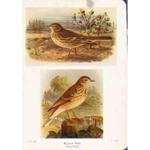 Meadow Pipit Tree Bird Color Antique Print Fine Art Old