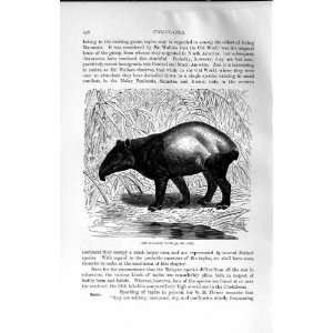 NATURAL HISTORY 1894 MALAYAN TAPIR WILD ANIMAL PRINT