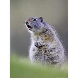 Uinta Ground Squirrel, Adult Calling Alarm as Warning to